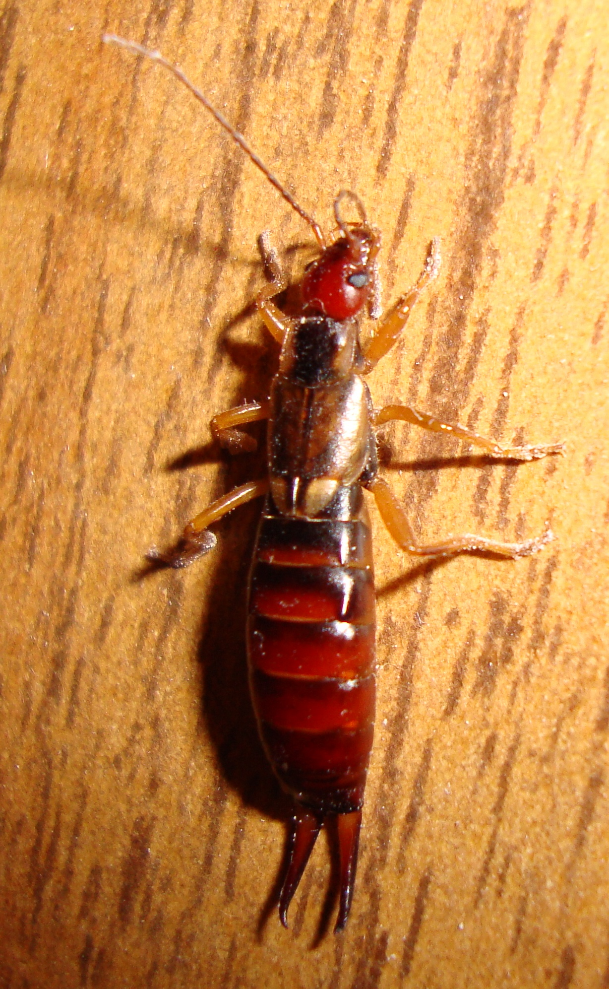 Pictures of insects found in homes What Kind