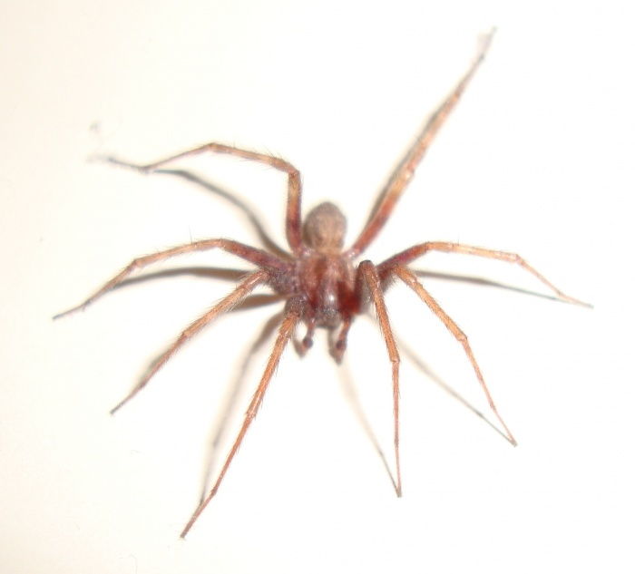 Bathtub spider